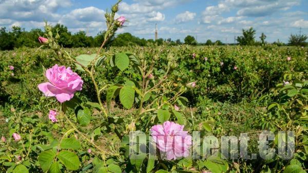Цената на българското розово масло падна с 1000 евро за килограм