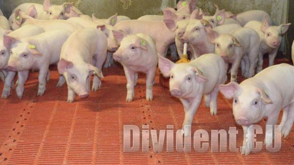 Готвят извънредно положение в Старозагорско заради африканската чума по свинете