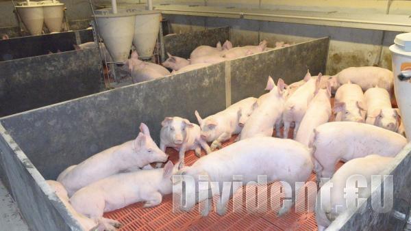 Няма да обявяват извънредно положение в Старозагорско заради чумата по свинете