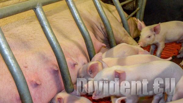 Втора седмица няма нови огнища на африканска чума при домашните свине