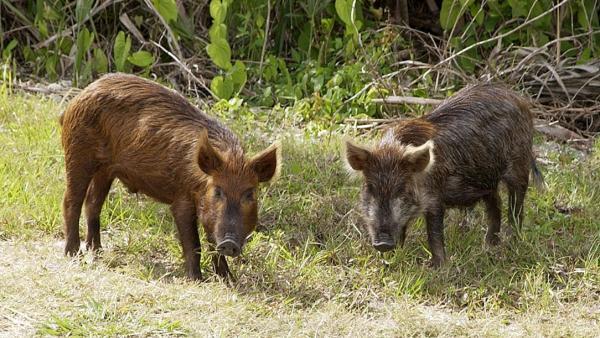 От 5 октомври разрешават лова на дива свиня 3 дни седмично заради Африканската чума