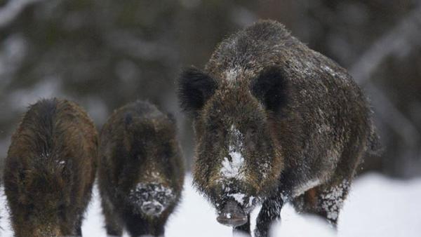 Удължиха лова на диви прасета до края на януари заради африканската чума по свинете
