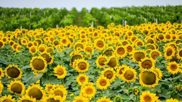 Земеделски стопани получиха над 450 млн. лева за опазване на климата и околната среда